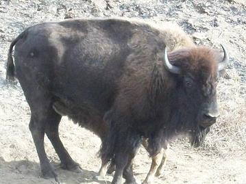Adventure-buffalo.jpg