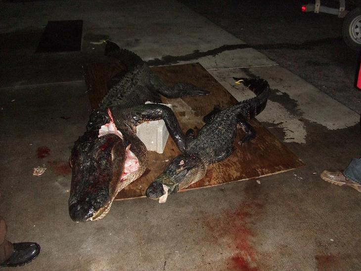 gator!!-gator-hunt-10-7-08-009.jpg