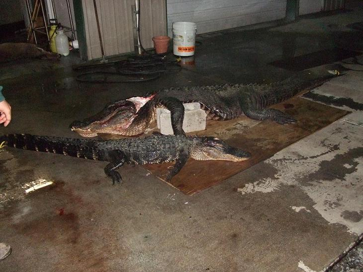 gator!!-gator-hunt-10-7-08-011.jpg