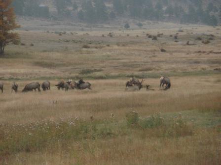 Elk in Rocky Mountatain National Park-p9300616-2.jpg