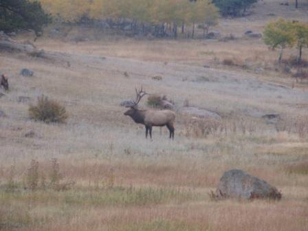 Elk in Rocky Mountatain National Park-p9300626-2.jpg