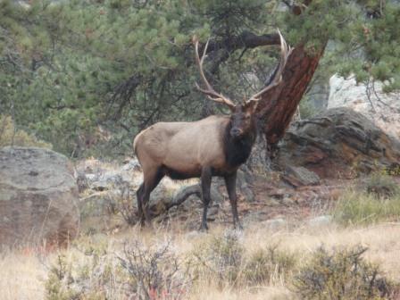 Elk in Rocky Mountatain National Park-p9300646-2.jpg
