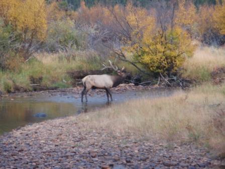 Elk in Rocky Mountatain National Park-p9300653-2.jpg