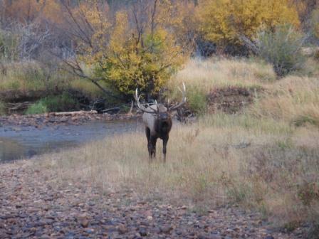 Elk in Rocky Mountatain National Park-p9300657-2.jpg
