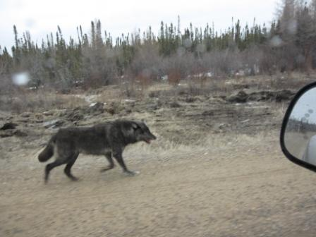 check out the big bad hungry wolf-picture-downloads-155.jpg